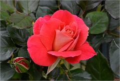 Rose Douceur ...