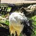 20170527 1749CPw [D~LIP] Heiliger Ibis (Syrmaticus aethiopicus), Vogelpark Detmold-Heiligenkirchen