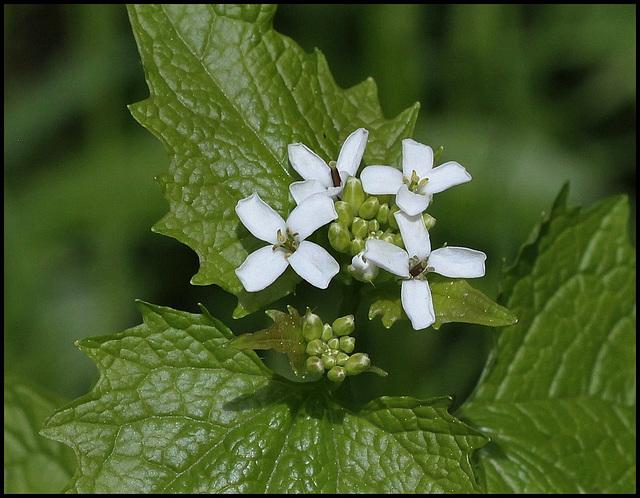 Alliaire-Alliaria petiolata (2)