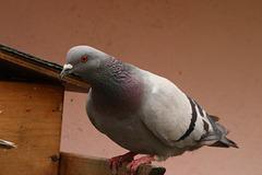 mon pigeon