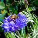 Bee On Cornflower