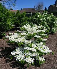 "Viburnum Plicatum ""Kilimandjaro"" ou Viorne de Chine"