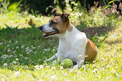 Jack Russell Terrier Rico DSC09782