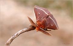 Oak Eggar ~ Hageheld (Lasiocampa quercus)...