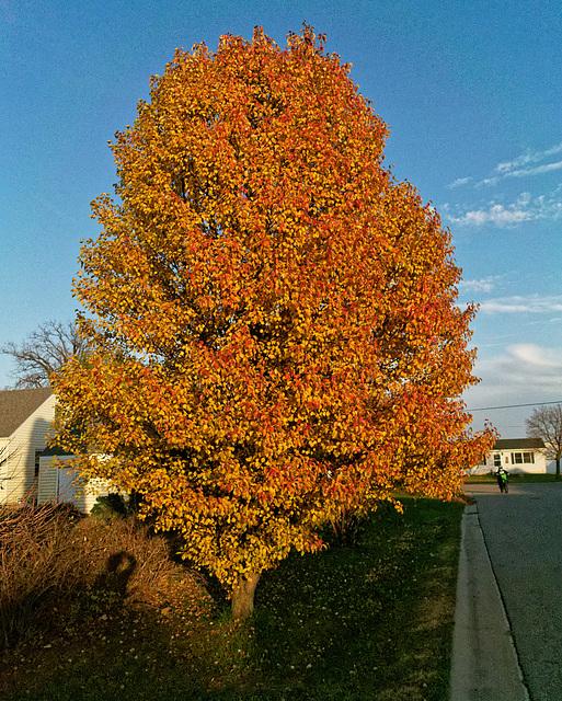 Hawthorn at Peak Color