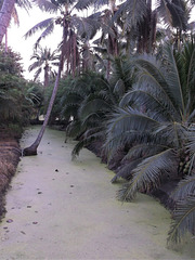 Cocotiers marécageux / Marshy coconut trees