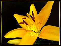 Lilienblüte in der Dämmerung... ©UdoSm