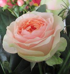 ROSE DOUCEUR / SOFT PALE PINK ROSE