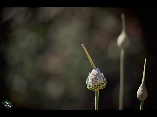 313/366: Garlic Marathon 5/9--The Cap is Unseated
