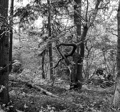 A contorted tree in B&W