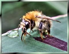 Young bumblebee. ©UdoSm