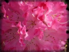 Pour voir la vie en rose, tu devras passer par ses épines.