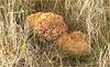 Cauliflower fungus ~ Grote sponszwam (Sparassis crispa)...