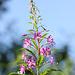 Rosebay Willowherb (Chamaenerion angustifolium)