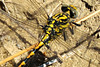 Large Pincertail anal triangle m (Onychogomphus uncatus)