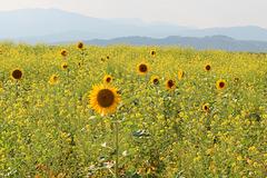 späte Sonnenblumen
