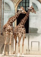 The Giraffe House - London Zoo, 1982