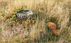 Cauliflower fungus ~ Grote sponszwam (Sparassis crispa)..