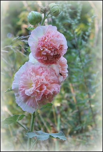 Trémière double rose (2)