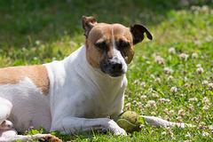 Jack Russell Terrier Rico DSC09799