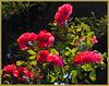 Rosen im Licht