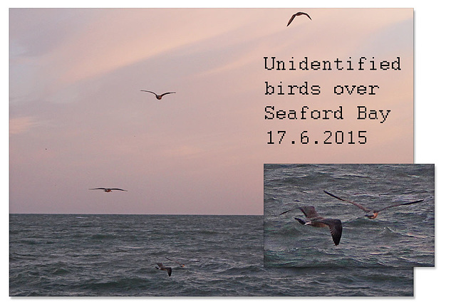 Black &  brown seabirds Seaford Bay 17 7 2015