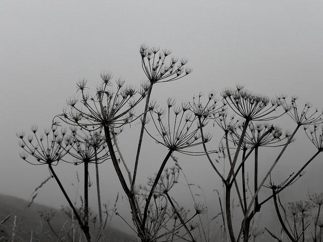 Dolden vor grauem Nebel