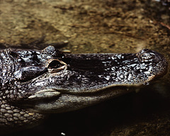 Crocodile - London Zoo, 1982