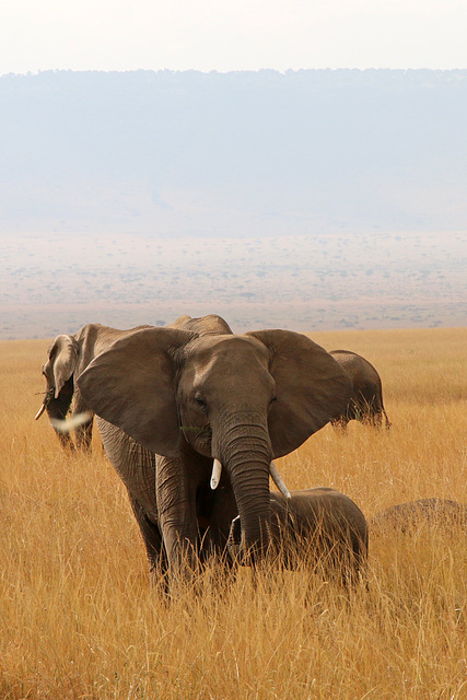 Field of elephants (Explored)