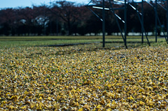 Ginkgo leaves on the ground