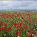 Poppy field. For Pam.