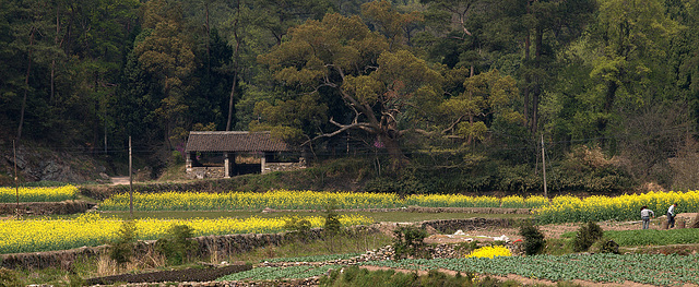 Chinese Oil Seed Farming