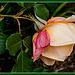 Las primeras rosas