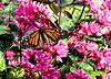 Monarchfalter (Danaus plexippus). ©UdoSm