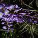 fleur de glycine, fond filles de l'air