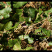 DSC04892 - couleuvre verte et jaune Ste Hermine été 2016