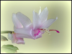 Schlumbergera blanc rosé