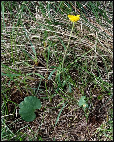 Ranunculus auricomis (1)
