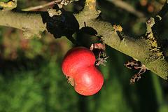 Pour la pomme empoisonnée destinée à Blanche-Neige , patience , ce n'est pas encore la période de récolte