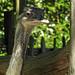 20170527 1760CPw [D~LIP] Emu, Vogelpark Detmold-Heiligenkirchen