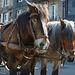 Draft horses seen in Honfleur.