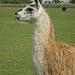 Llama in Yorkshire