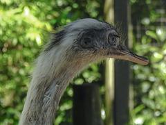 20170527 1761CPw [D~LIP] Emu, Vogelpark Detmold-Heiligenkirchen