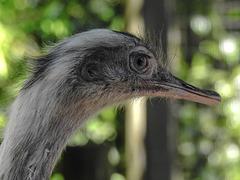 20170527 1762CPw [D~LIP] Emu, Vogelpark Detmold-Heiligenkirchen