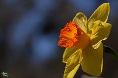 258/366: Stunning Orange-Cupped Daffodil