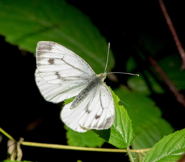 Small white butterfly5