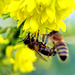 17. Dez. 2019!!! -  2 Bienen in den Blüten einer Mahonia Winter Sun