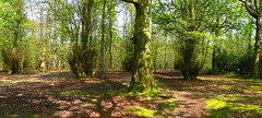 Gosforth Wood in Spring (panorama)