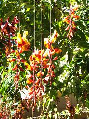 Himmelsblume. (Thunbergia mysorensis) ©UdoSm