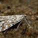Brown China-mark ~ Waterleliemot (Elophila nymphaeata)...